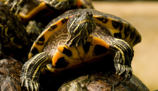 It's Turtles all the way down. Image courtesy of Flickr user William Warby.