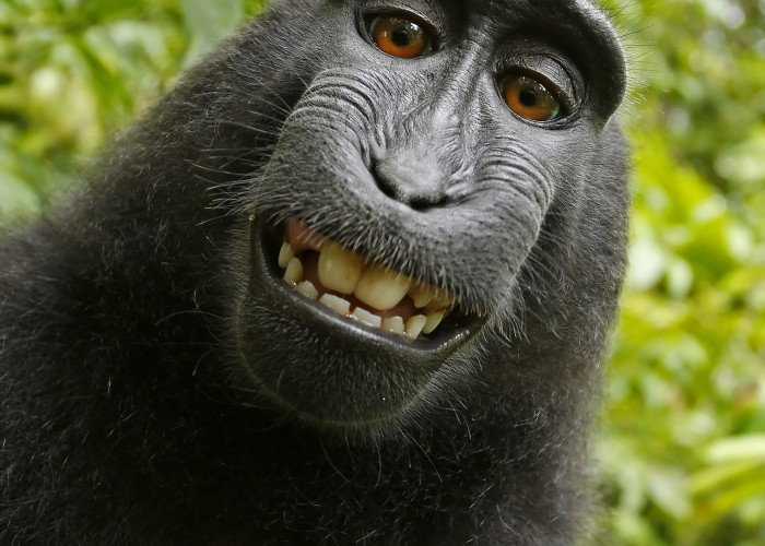 Self-portrait of a female Celebes crested macaque (Macaca nigra) in North Sulawesi, Indonesia, who had picked up photographer David Slater's camera and photographed herself with it. Source: Wikimedia Commons