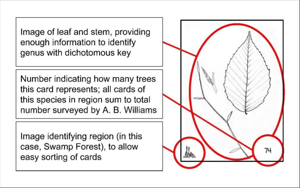 An example of card used in the tree identification game. It depicts the leaf and stem pattern, the forest community in which it is found, and the number of individual trees the card represents.