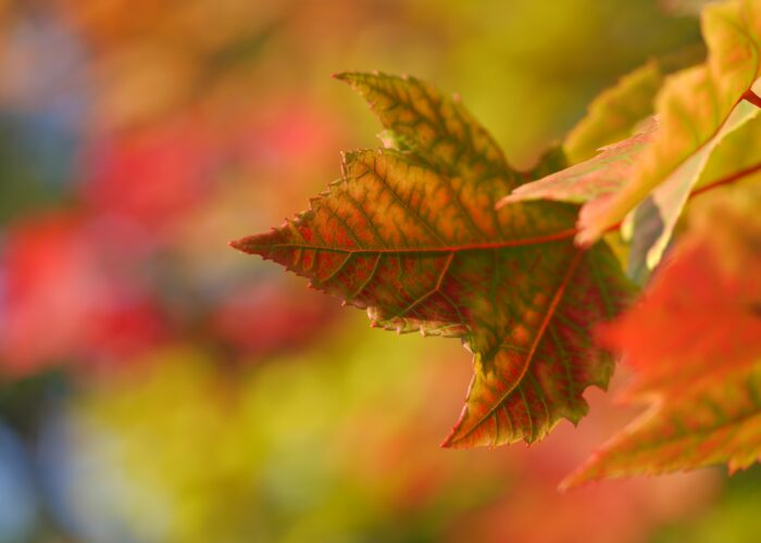 An autumn leaf in sharp focus before a vibrant autumnal background.