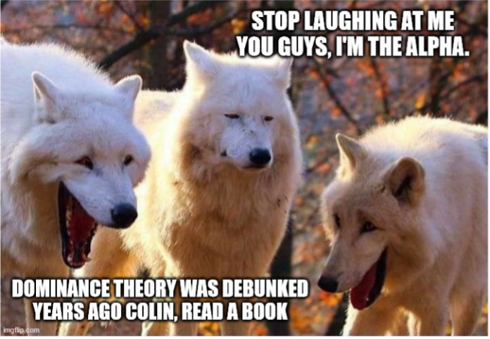 """Three white wolves are shown with photoshopped faces. Two of the wolves are """"smiling"""" while one is """"grimacing."""" Text on the top right hand corner states """"Stop laughing at me guys, I'm the alpha,"""" while text in the bottom left corner states """"Dominance theory was debunked years ago Colin, read a book."""""""