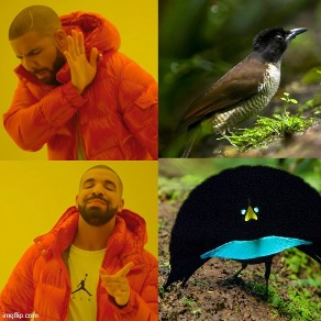 A Drake Hotline Bling meme which depicts four total images. The image in the top left corner shows Drake facing away with his hand blocking his view. A corresponding image of a grey/brown bird is placed on the top right corner. The image on the bottom left corner shows Drake smiling while pointing with his hand. A corresponding image of a fully plumaged black and blue male bird of paradise, with green eyes, is depicted.